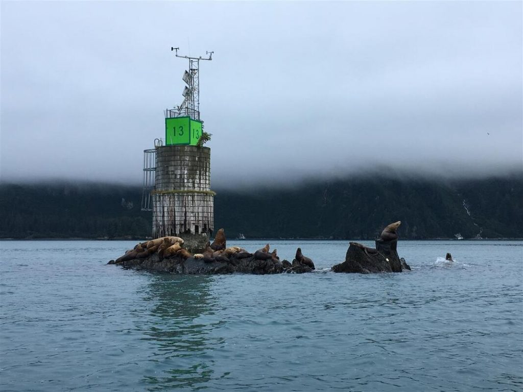 stellar sea lions in prince william sound alaska
