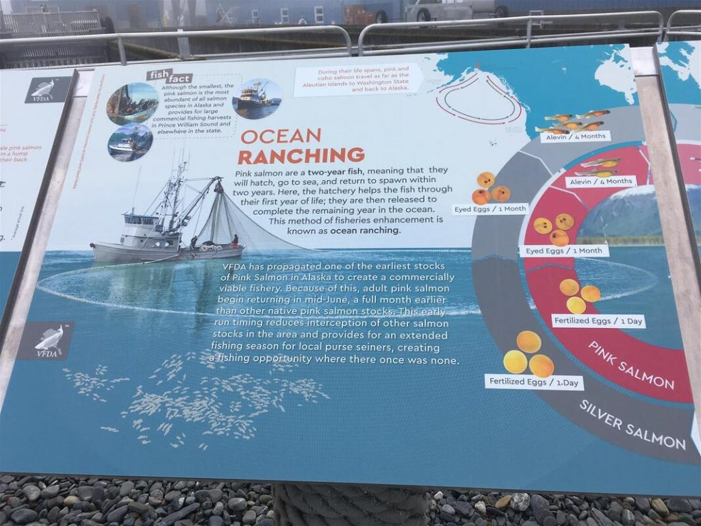 ocean ranching of salmon in prince william sound in alaska