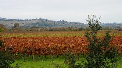 Wine fields in winter