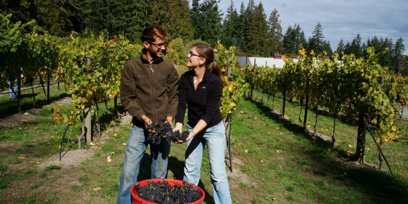 harvesting grapes on whidbey island